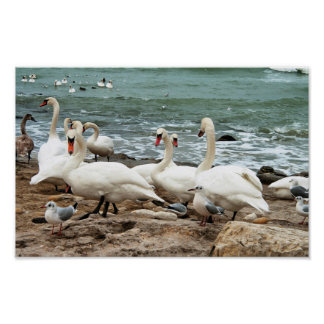 Swans on the beach. poster
