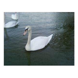 Swans White Postcard
