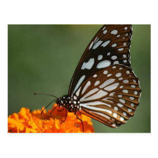 sweet beauty peace and calm  Blue Tiger Butterfly Postcard