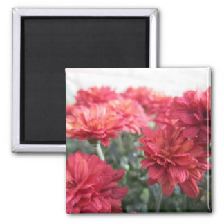 Sweet Bright Chrysanthemums Magnet