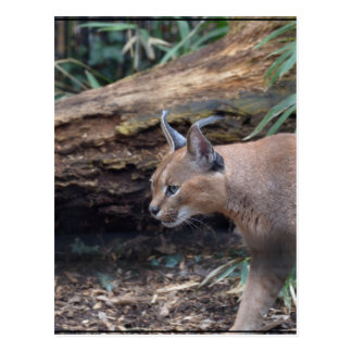 Sweet Caracal Postcard