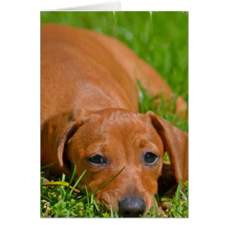 Sweet Daschund Sleeping  Greeting Cards