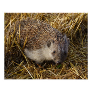 Sweet Hedgehog In Stubble Field Perfect Poster