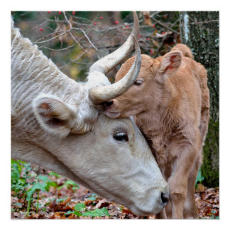Sweet Mother Cow & Calf in Autumn Poster Perfect Poster