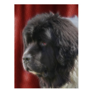 Sweet Newfoundland Dog Face Postcard