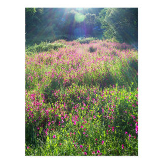 Sweet Pea California Landscape Postcard