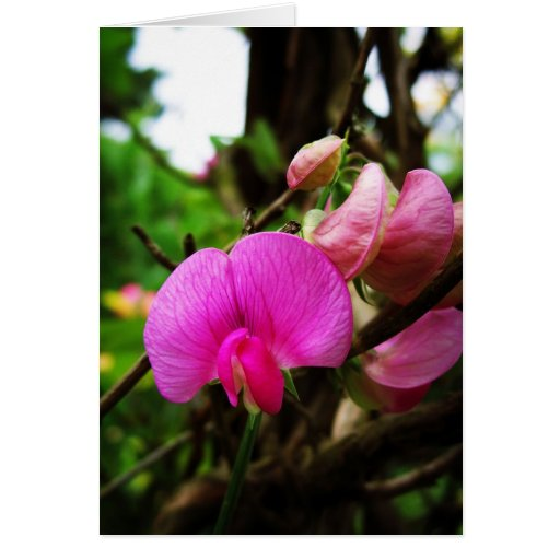 Sweet Pea Greeting Cards