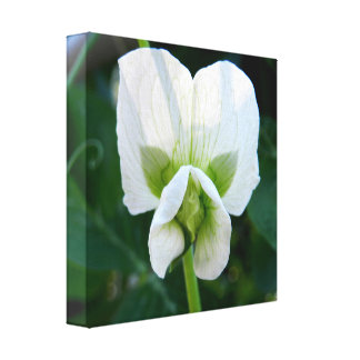 Sweet Pea Flower Canvas Print