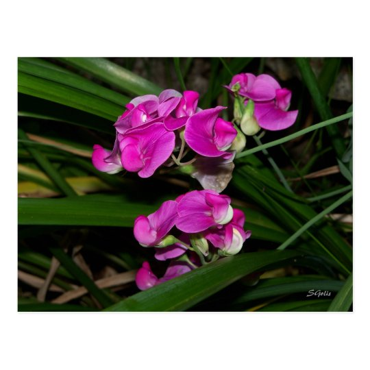 Sweet Pea Flower Postcard
