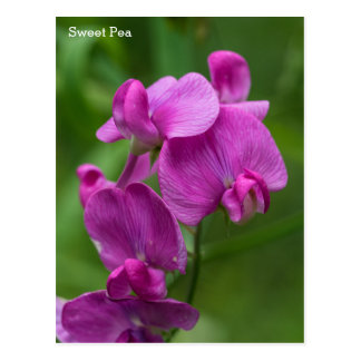 Sweet Pea Pretty Pink Wildflowers Name Floral Card Postcard