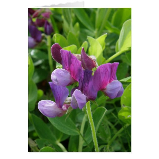 Sweet Peas, Lathyrus maritimus Cards