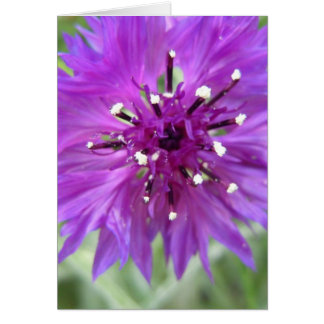 Sweet Purple Bachelor Button Greeting Card