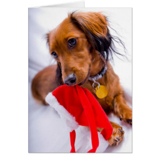Sweet Red Long Hair Dachshund Card