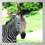 Sweet Zebra Poster