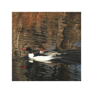 Swimming Merganser Pair Canvas Print
