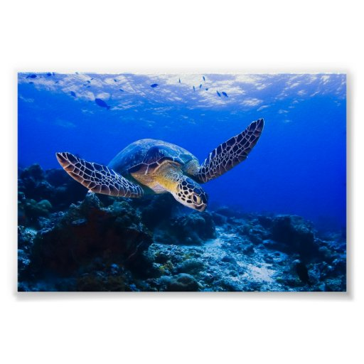 Swimming Sea Turtle in blue water Poster