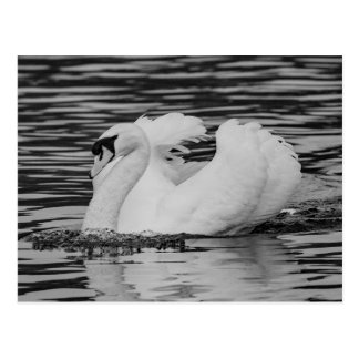 Swimming Swan Postcard