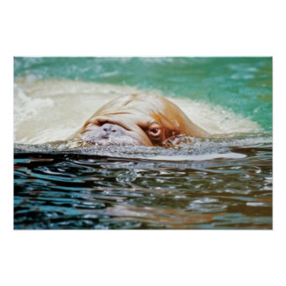 Swimming Walrus Poster