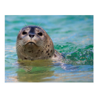 Swimming with a baby seal postcard