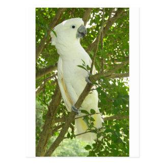 Sydney Cockatoo Postcard