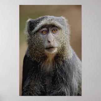Sykes or Blue Monkey, Cercopithecus mitis, Poster