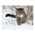 Tabby Cat Hunting in the Snow Postcard