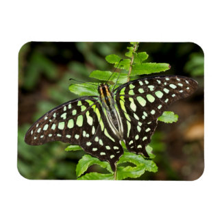 Tailed Jay butterfly Rectangular Photo Magnet