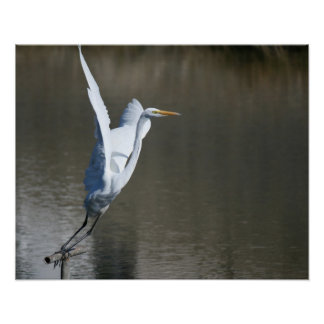 """Take Off"", Great Egret Poster"