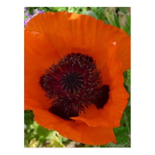 Talk Poppy - corn poppy Postcard