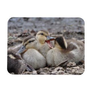 Talkative Mallard Ducklings Magnet