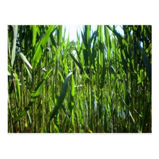 Tall grass postcard