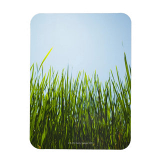 Tall green grass against blue sky with sun magnet