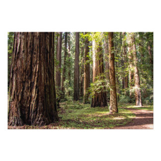 Tall Trees Photo Print