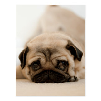 Tan Female Pug Postcard