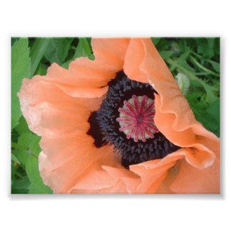 Tangerine colored poppy photograph