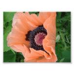 Tangerine coloured poppy 2 photographic print
