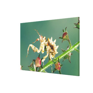 Tanzanian Flower Mantis, Pseudocreboter Canvas Print