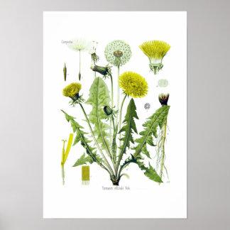 Taraxacum officinale (Dandelion) Posters