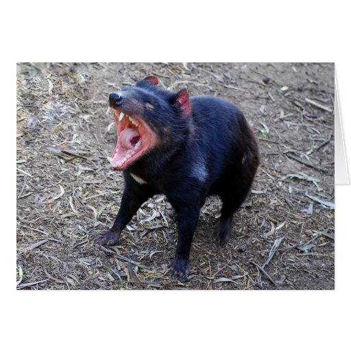 Tasmanian Devil Displaying His Vicious Yawn Cards