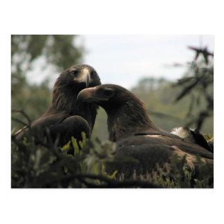 Tasmanian wedge tailed eagles postcard
