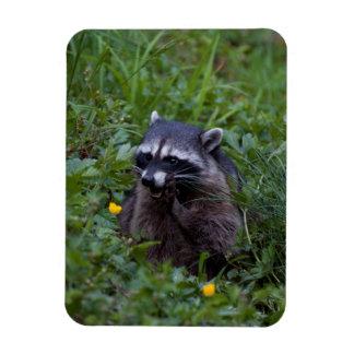 Tattle Tale Raccoon Rectangular Photo Magnet