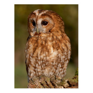 Tawny Owl (Strix aluco) Postcard