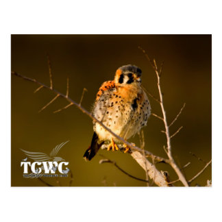 TCWC – American Kestrel at Sunset with Logo Postcard