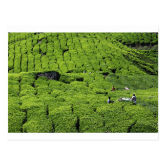 Tea plantation harvest of lush green plants postcard