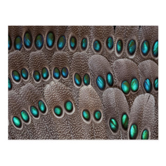 Teal spotted pheasant feather postcard