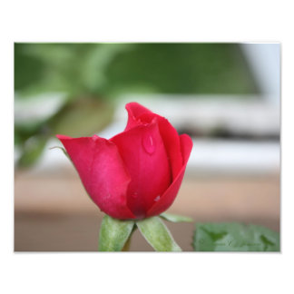 Tear of a Rose Bud Art Photo