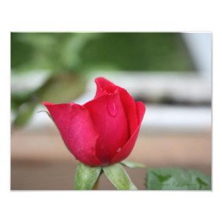 Tear of a Rose Bud Art Photo