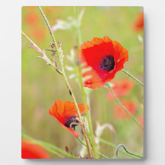 Tender shot of red poppies on the field plaque