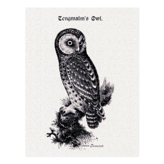 Tengmalm's Owl Vintage Bird Illustration Postcard