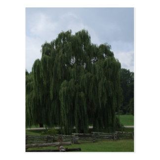 Tennessee Willow Tree Postcard